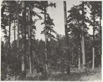 Forest Scene Near Powell Mountain