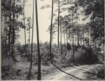 Dirt Road Through Forest in Caddo Ranger District